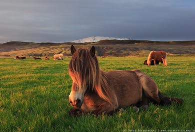 Islandpferde-Reittour und Golden Circle-Ausflug