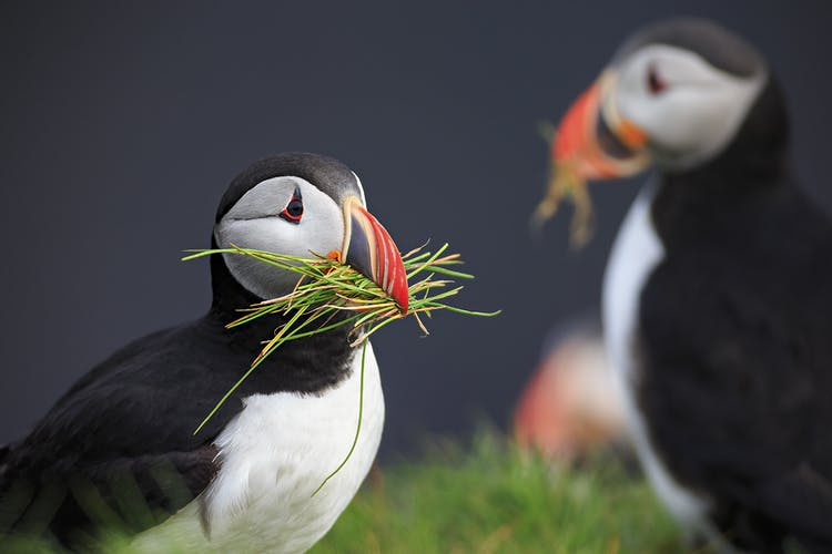 The puffin colony in the Westman Islands is the largest in the world.