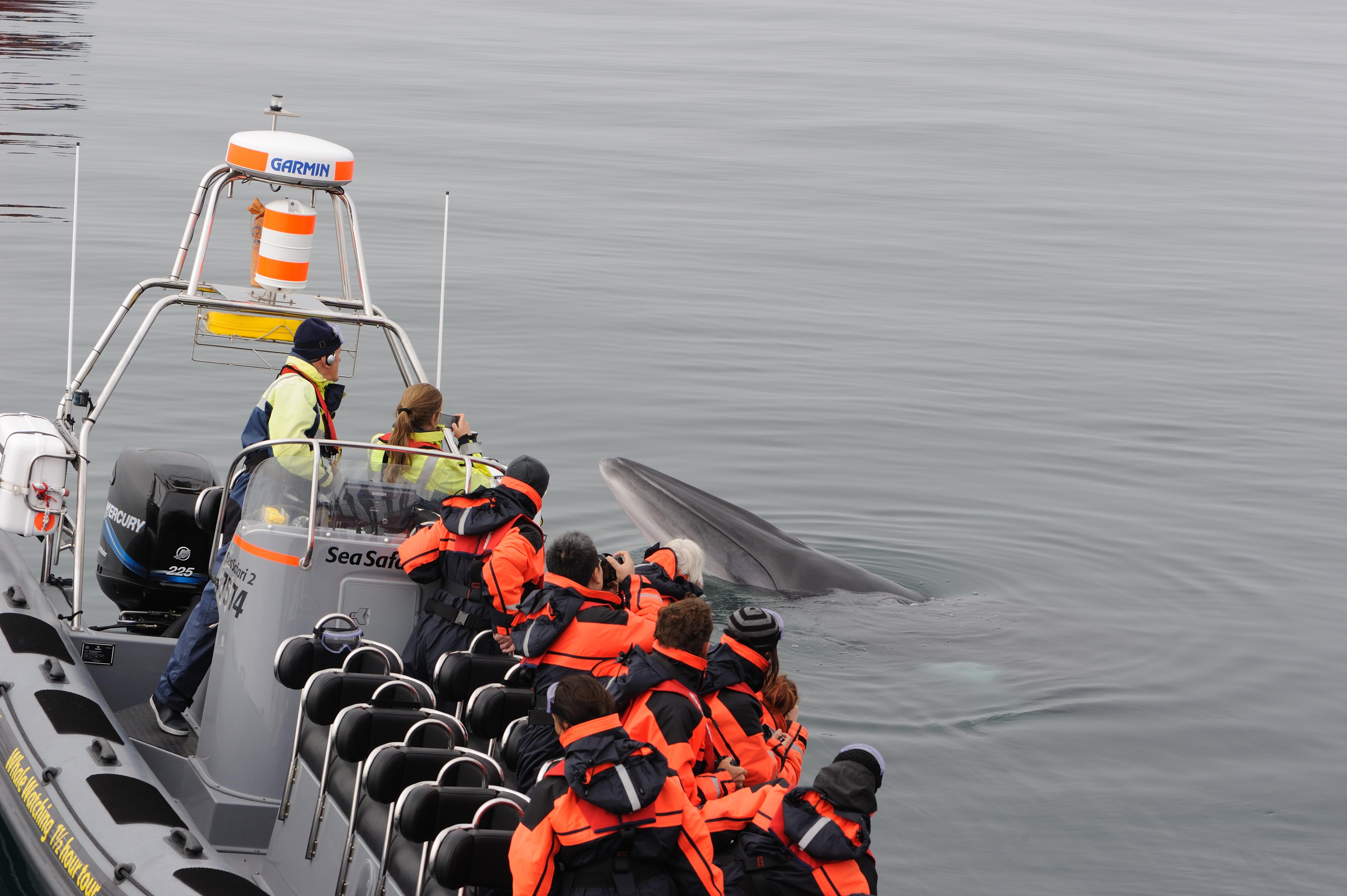 Een nieuwsgierige dwergvinvis onderzoekt een boot.
