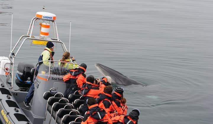 Nærkontakt   Hvaler, lundefugler og kysten utenfor Reykjavík