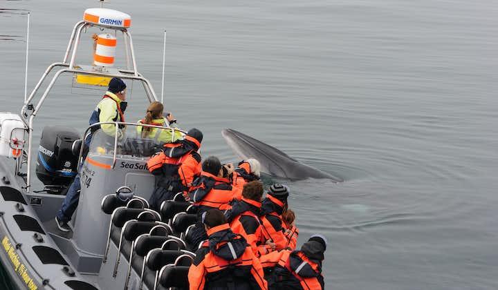 Nærkontakt | Hvaler, søpapegøjer og Reykjavíks kyst