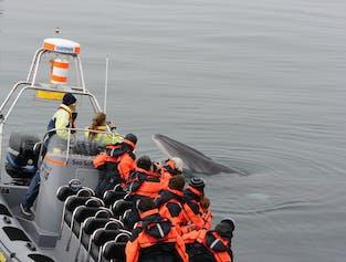 Schnellboot Walbeobachtung + Papageitaucher | ab Reykjavík