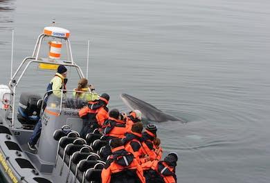Schnellboot Walbeobachtung + Papageitaucher   ab Reykjavík