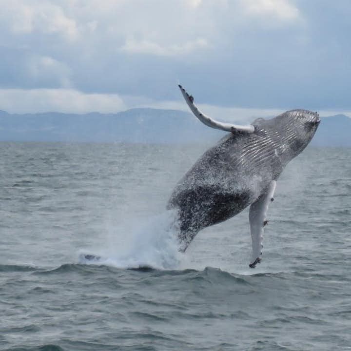 冰岛特色观鲸船游 - 在大西洋看鲸鱼|雷克雅未克出发