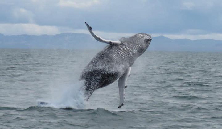 冰岛特色观鲸船游 - 在大西洋看鲸鱼 雷克雅未克出发