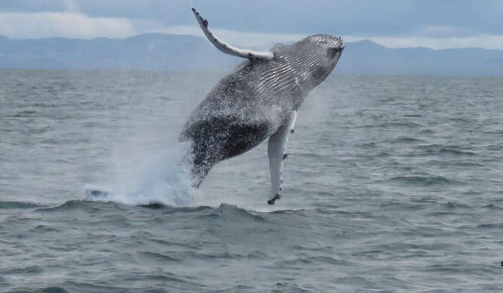 Niezapomniany 3-godzinny rejs z obserwacją wielorybów startujący z portu w Reykjaviku