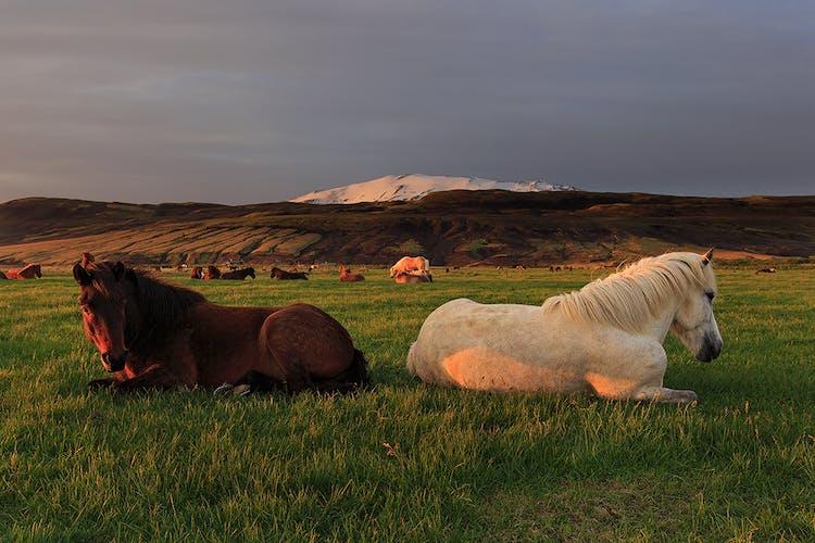 夏の白夜の下、ゆったりとくつろぐアイスランディックホース