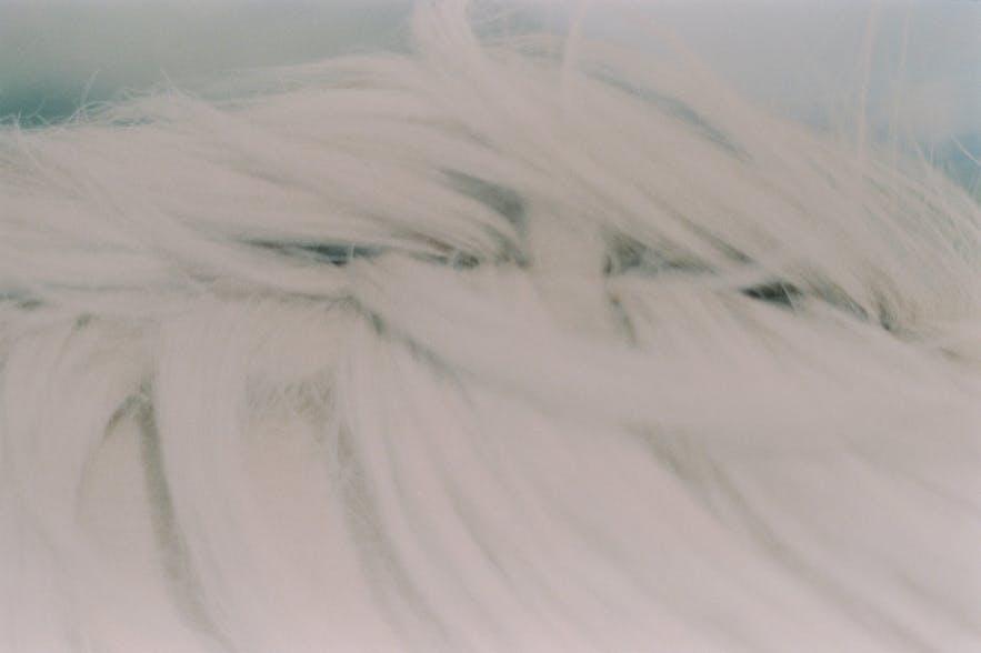 Pferdemähne eines Islandpferdes