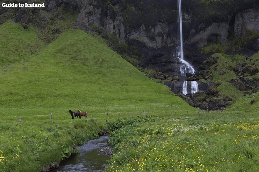 A waterfall with Icelandic horses