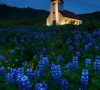 Just on the cusps of midsummer, the church of Vík is surrounded by bluish purple lupins.