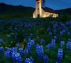 한 여름, 해가 지지 않는 아이슬란드, 비크에 자리잡은 한 교회가 푸른 루핀 꽃에 둘러쌓여 있습니다.
