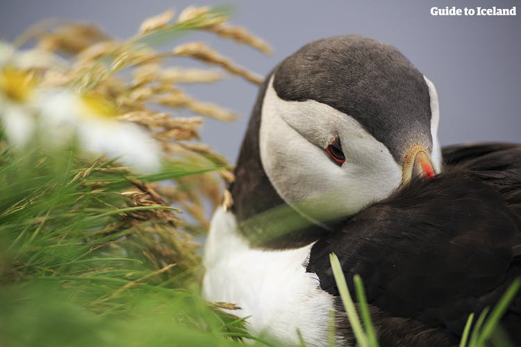 Every year over 10 million puffins flock to Iceland to nest in the country's seaside cliffs.