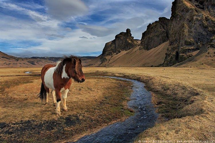 フレンドリーなアイスランディックホースは、アイスランド国外でも人気がある