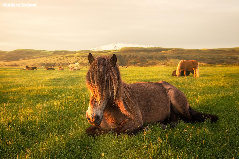 Islandshästar som kopplar av medan Hekla, en av världens dödligaste vulkaner, syns i bakgrunden.