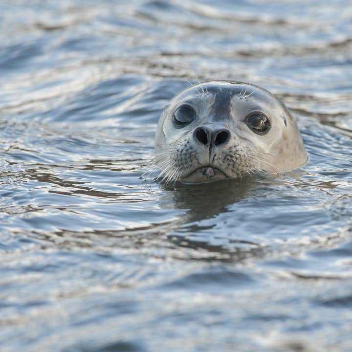 Expect to see seals lounging on the shores of Ytri-Tunga on the Snæfellsnes Peninsula.
