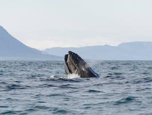 Whales, Sea Birds & Eyjafjordur