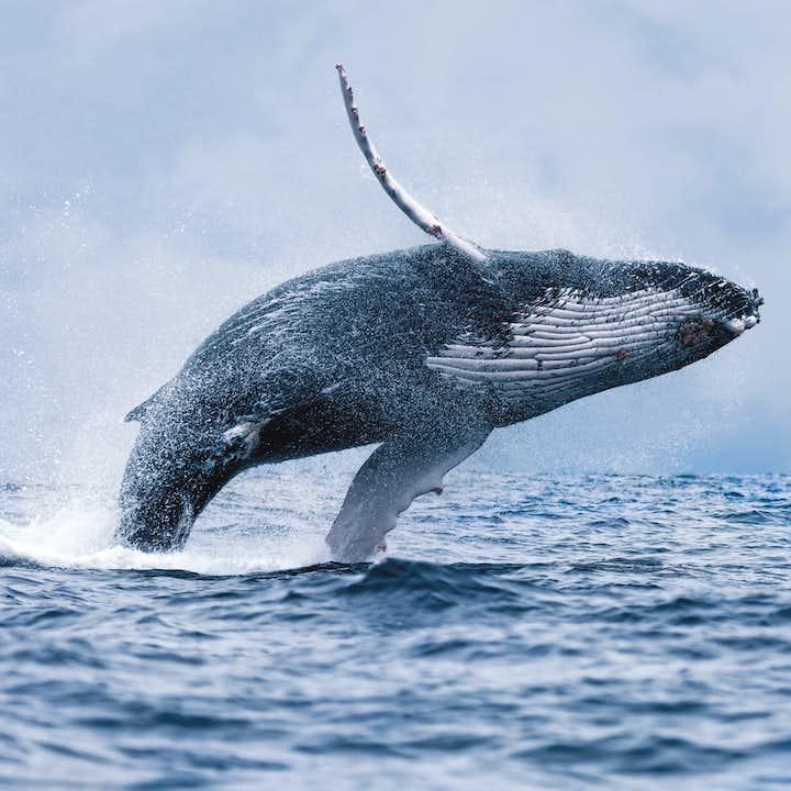 雷克雅未克|赏鲸旅行团