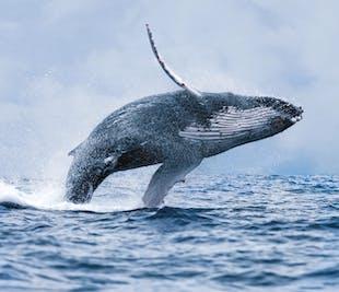 레이캬비크 출발 가성비 최고 조건의 고래 관광투어!