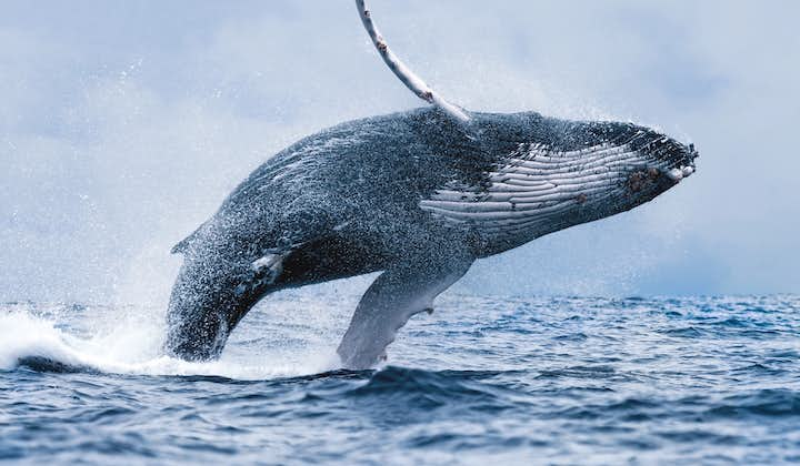 On the Best Value Whale Watching Trip from Reykjavik you might see the giant humpback whale breaching in a stunning acrobatic display.