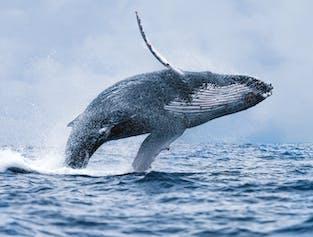 Preiswerte Walbeobachtung | ab Reykjavík
