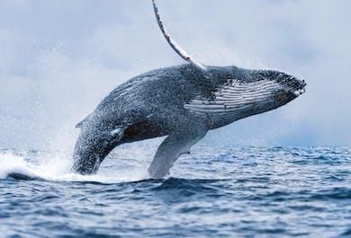 Preiswerte Walbeobachtung   ab Reykjavík