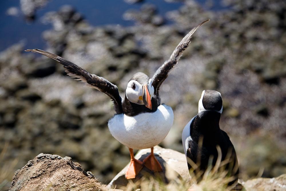 在夏日的冰岛拉特拉尔角观鸟悬崖(Látrabjarg)可以找到大量的北极海鹦Puffin