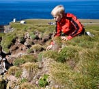 Puffins are not hunted at Látrabjarg cliffs so are not afraid of people.