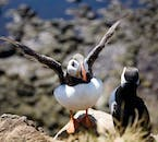 A puffin stretches its wings on the Látrabjarg cliffs.