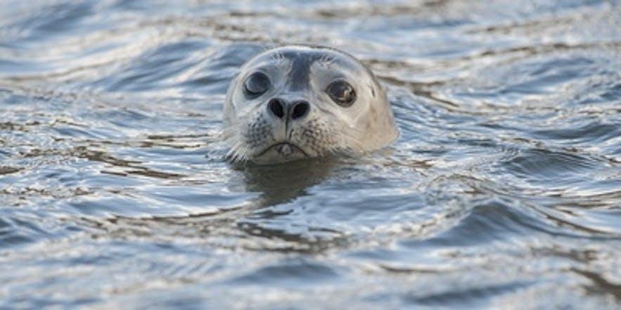 Una linda foca en la laguna de hielo