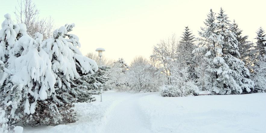 Zima w Reykjaviku, ośnieżone drzewa w parku.