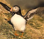 Puffins are an instantly recognisable resident of this island; driving around the country, you will likely see these cheeky creatures nesting in coastal cliff faces.