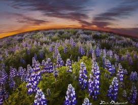 Midnattssolens bärnstensgula ljus fyller himlen under de isländska sommarnätterna.