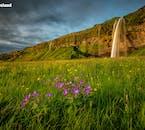 ทุ่งเขียวขจีกับดอกไม้สีม่วงและเหลืองหน้าน้ำตกเซลยาแลนศ์ฟอสส์ในทางใต้ของไอซ์แลนด์