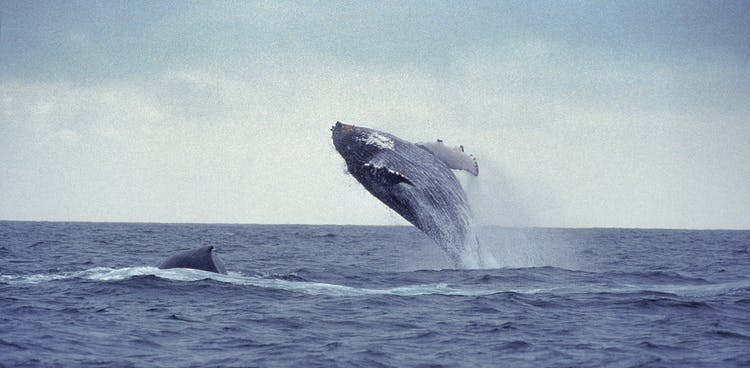 A beautiful humpback whale thrusts its enormous body clear from the waters of Faxaflói Bay.