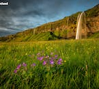 The verdant fields of the South Coast burst with colour in the form of wildflowers in the summertime, pictured here in front of the picturesque waterfall Seljalandsfoss.