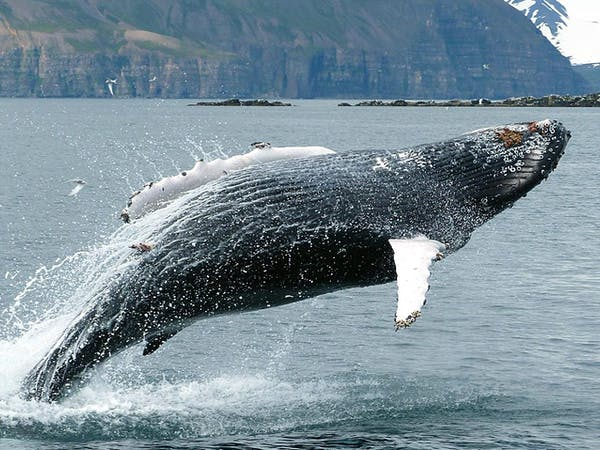 Whale Watching Hauganes