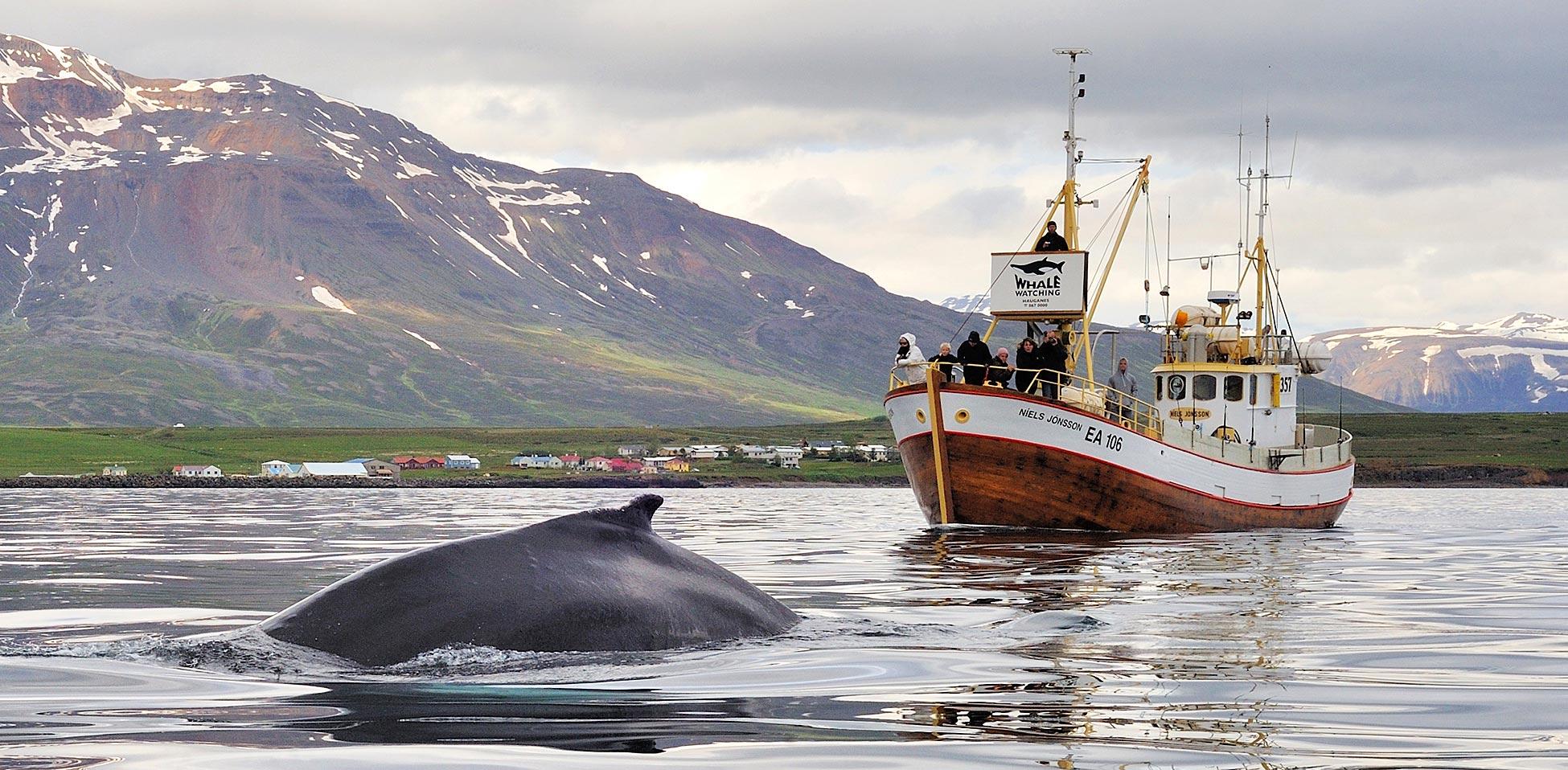 在这次冰岛观鲸海上钓鱼之旅中您最后机会看到的是座头鲸、小须鲸、港口海豚和白喙海豚