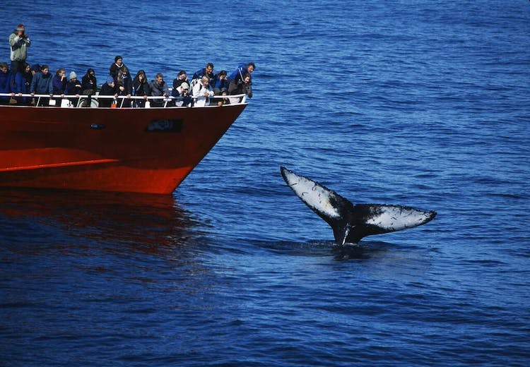 Whale watching vessels are fitted with the latest radar technology in order to routinely find the animals.