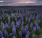 Łubiny zostały sprowadzone na Islandię, aby zapobiec erozji gleby, a teraz nadają piękny kolor letnim krajobrazom Islandii.