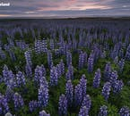 Lupins were introduced to Iceland in order to stop the topsoil being blown away, and now add beautiful colour to Iceland's summer landscapes.