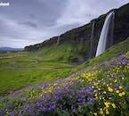 Das Wasser von Wasserfällen wie Seljalandsfoss füttert die Landschaften der Südküste im Sommer und macht sie grün und blühend.