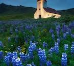 Łubiny, znane z pięknego niebieskiego, fioletowego i białego zabarwienia, nie pochodzą z Islandii, ale doskonale uzupełniają krajobraz.