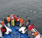 A pod of white-beaked dolphins checking out a whale-watching vessel.