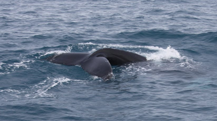 Oglądanie wielorybów (z Reykjaviku) w najlepszej cenie