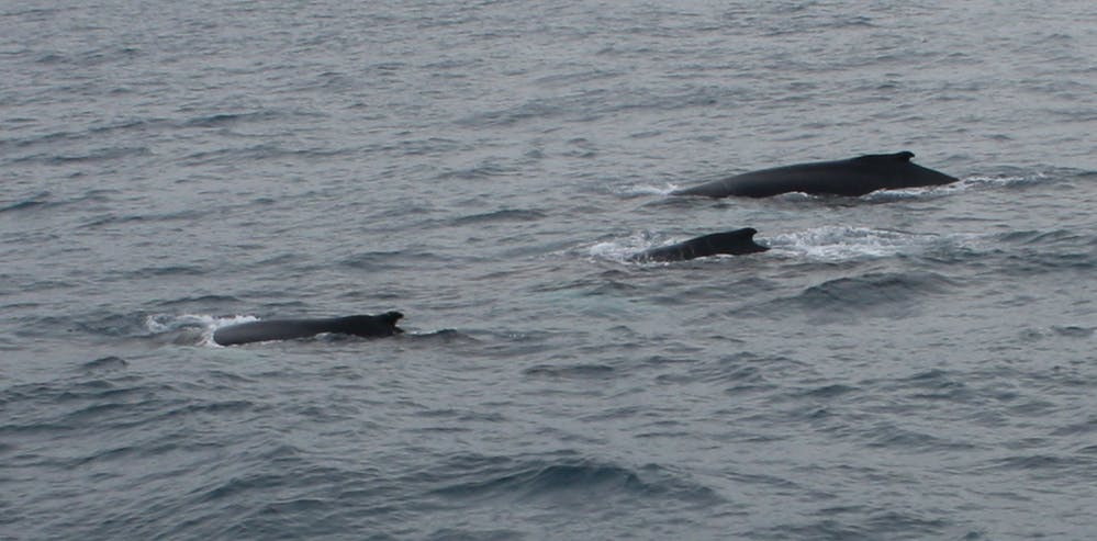 Best Value Whale Watching Trip from Reykjavik