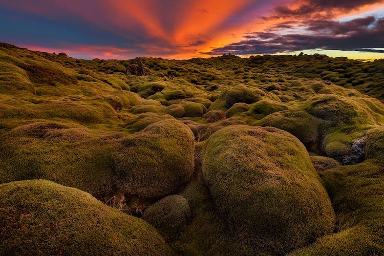 Większość islandzkich pól lawowych pokrywa delikatny mech.