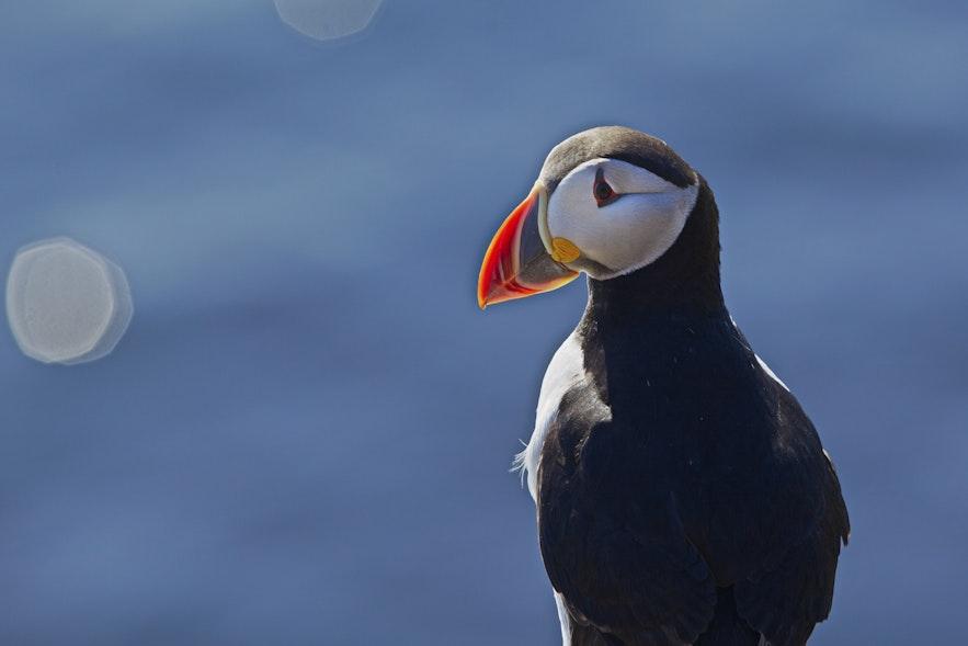observation macareux islande
