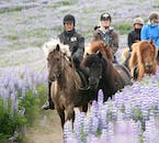 Fields of lupins add to the beauty of horseback riding in Iceland.