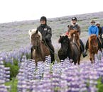 Lupins adorn the summer landscapes of South Iceland and are wonderful to behold from horseback.