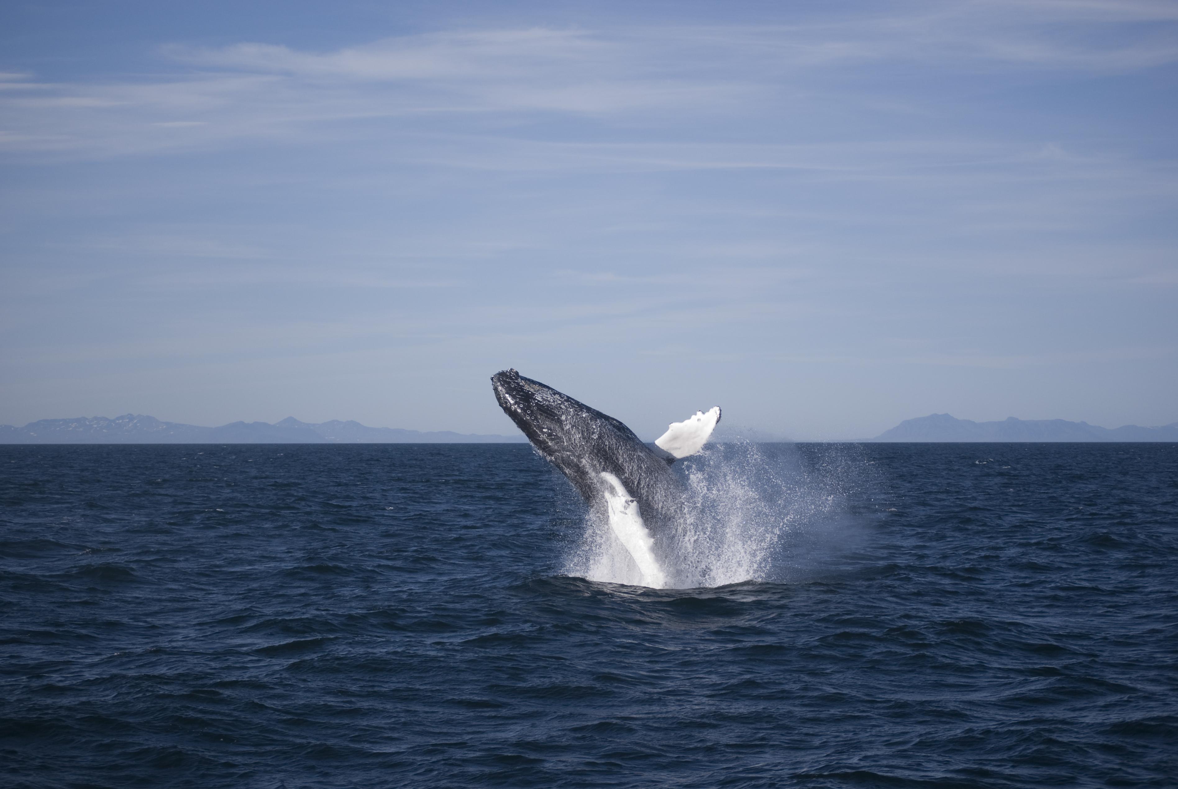 雷克雅未克Faxaflói海湾中生活着各种鲸鱼,座头鲸是最常见的一种